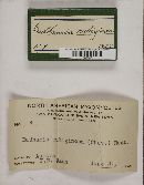 Badhamia rubiginosa image