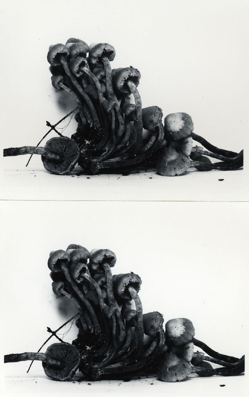 Pholiota connata image