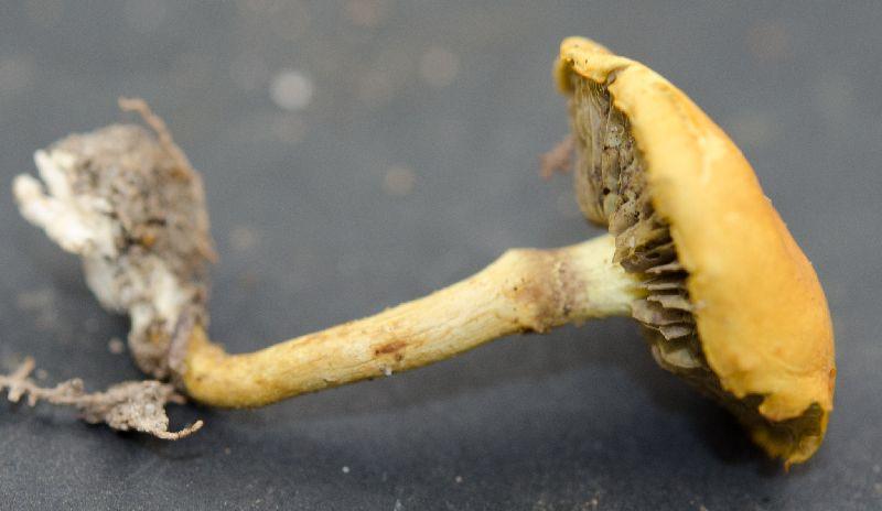Hypholoma fasciculare image
