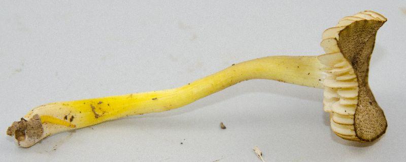 Hygrophorus image