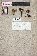 Phylloporus rhodoxanthus image