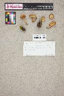 Cystodermella granulosa image