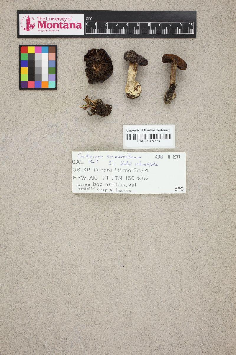 Cortinarius cupreoviolaceus image