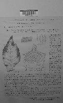 Mycosphaerella ulmi image