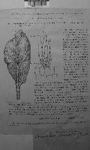 Cercospora beticola image