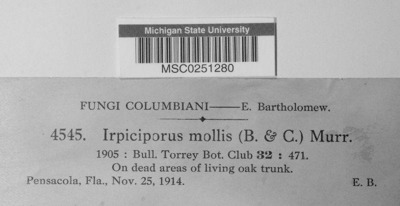 Irpiciporus mollis image