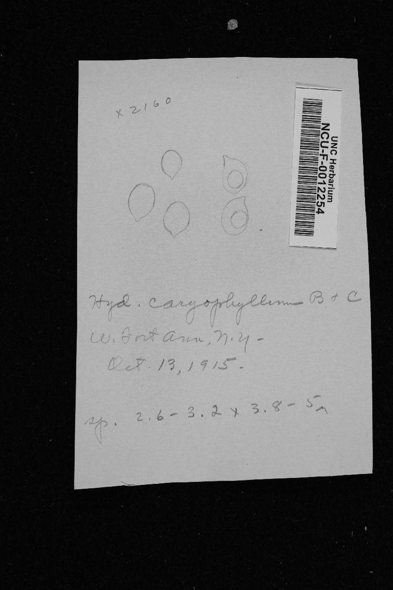 Hydnum caryophylleum image