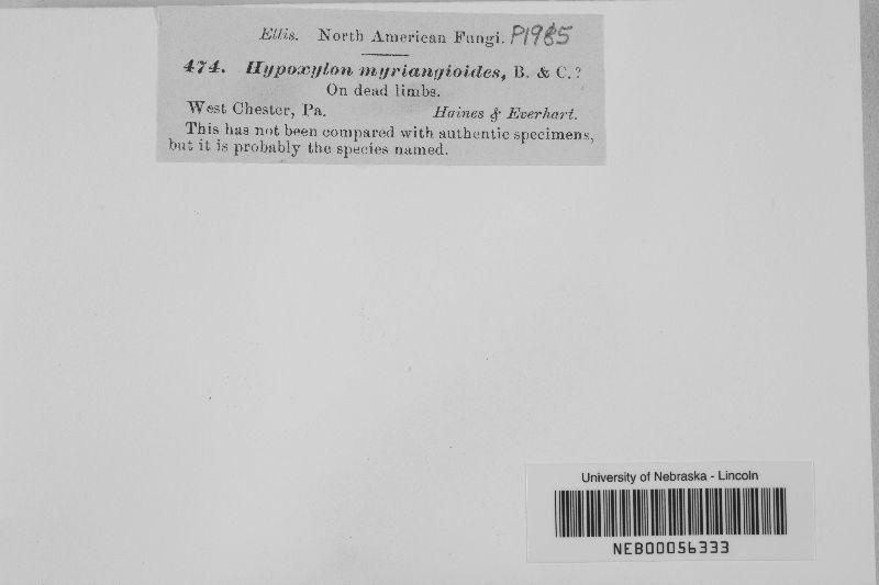 Hypoxylon myriangioides image