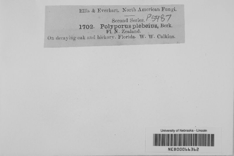 Polyporus rugulosus image