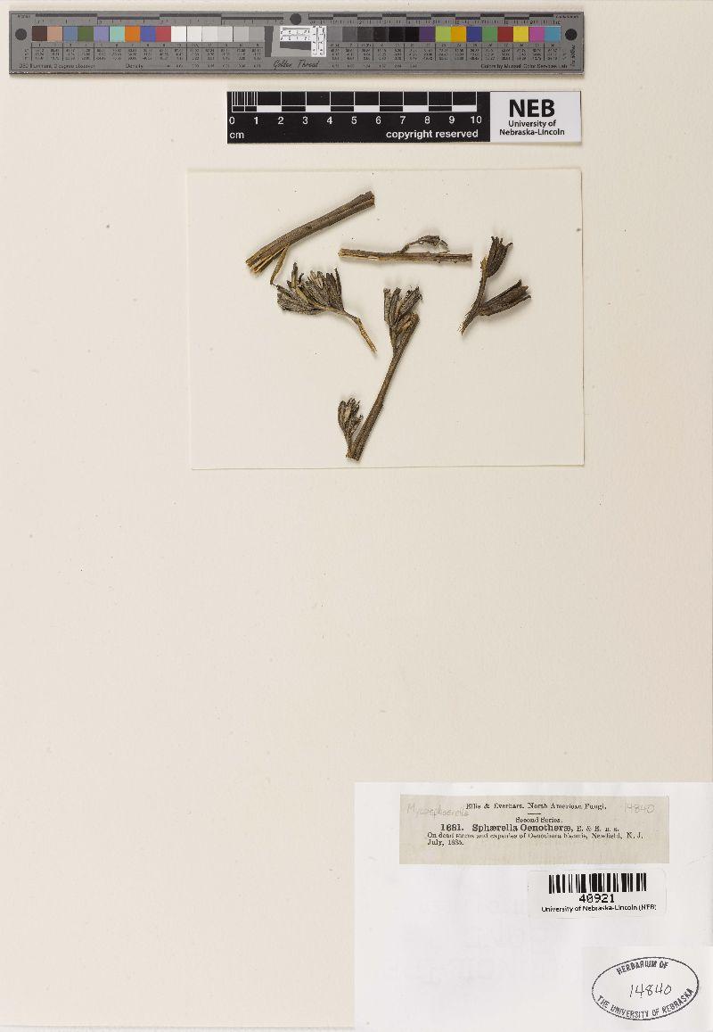 Mycosphaerella oenotherae image