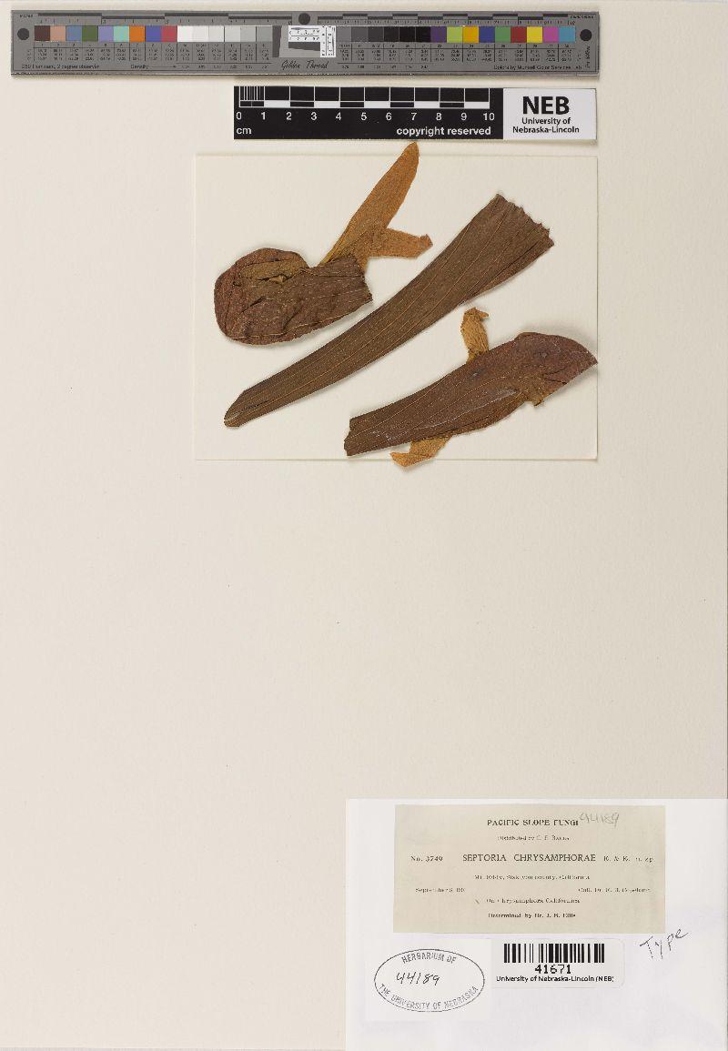 Septoria chrysamphorae image