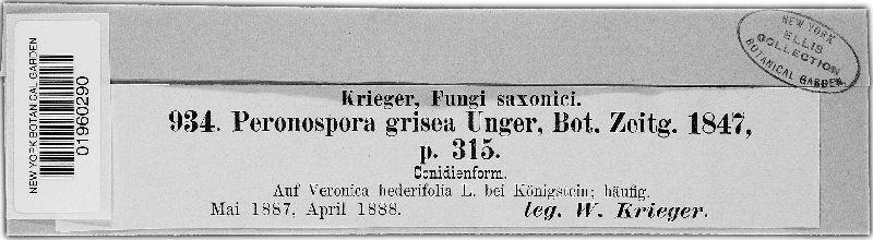 Peronospora image
