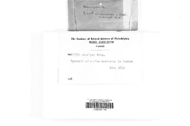 Ombrophila nigripes image