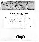 Polyporus frondosus image