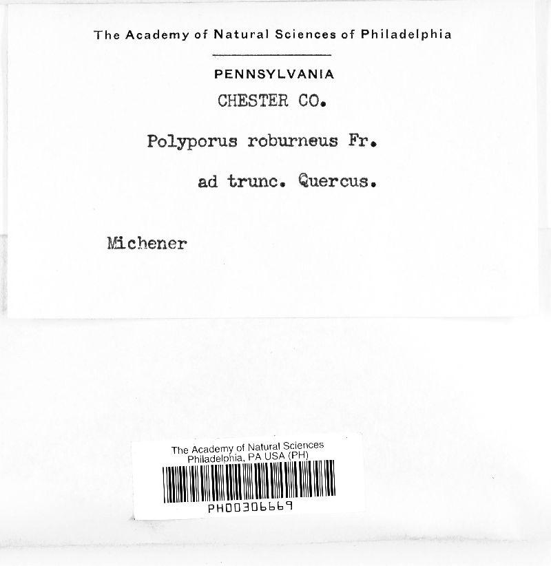 Polyporus roburneus image