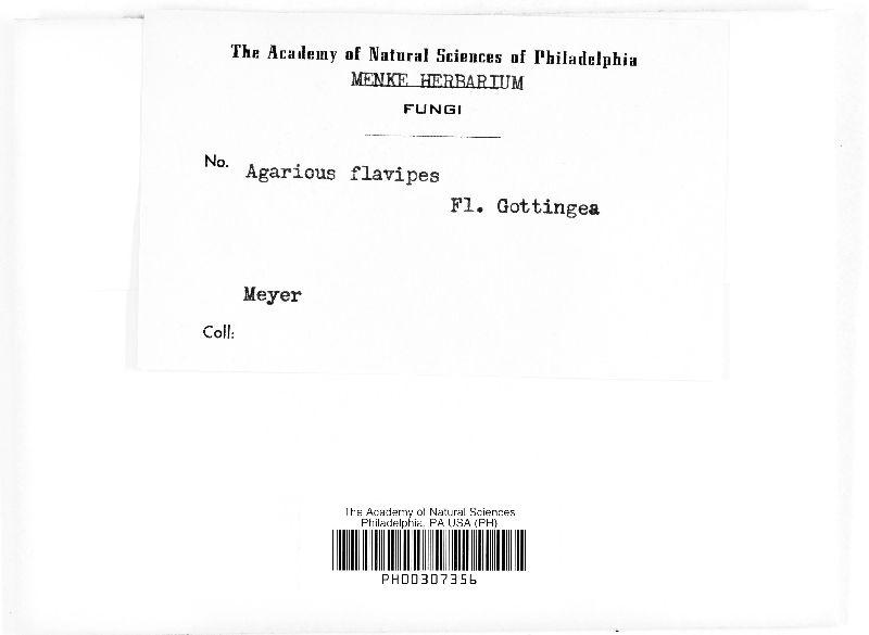 Agaricus flavipes image