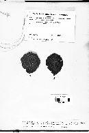 Asteroma alneum image