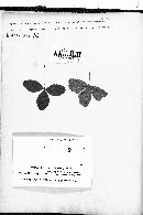 Pseudopeziza trifolii image