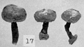Tulostoma membranaceum image