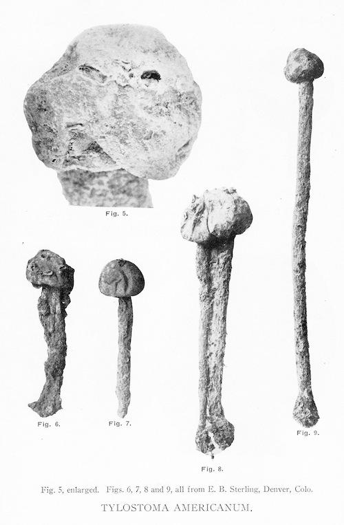 Tulostoma americanum image