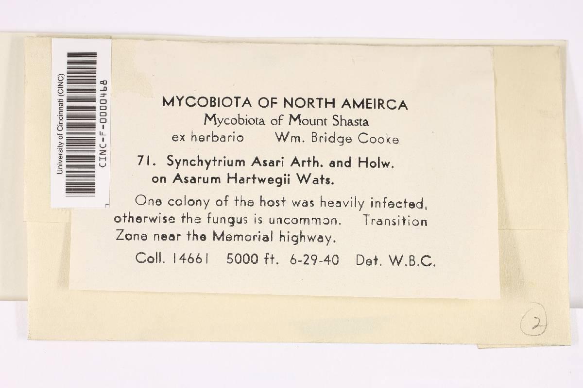 Synchytrium asari image