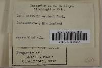 Clavulinopsis archeri image