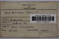 Phellinus laevigatus image