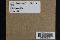 Image of Cortinarius pseudobolaris