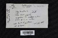Cortinarius sphaerosporus image