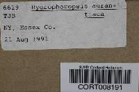 Hygrophoropsis aurantiaca image