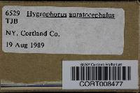 Hygrophorus auratocephalus image
