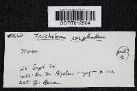 Tricholoma resplendens image