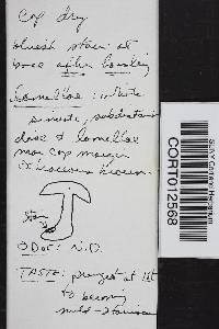 Tricholoma columbetta image