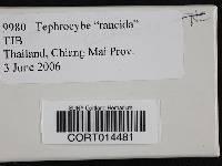 Tephrocybe rancida image