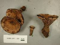 Hydnellum ferrugineum image