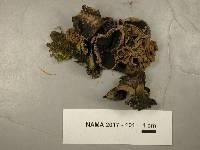 Ionomidotis irregularis image