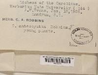 Cladonia mateocyatha image