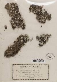 Cladonia ochrochlora image
