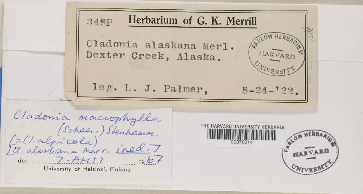 Cladonia macrophylliza image