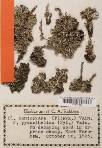 Cladonia fimbriata image