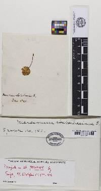 Marasmius rhabarbarinus image