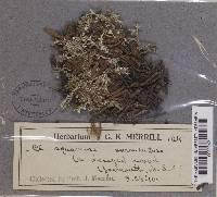 Cladonia sarmentosa image