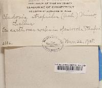 Cladonia strepsilis image