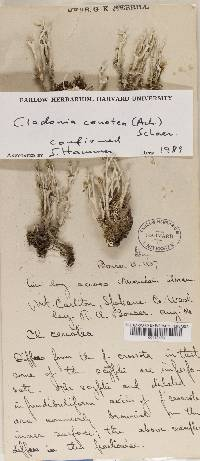 Cladonia cenotea image