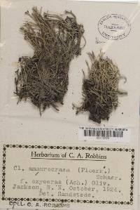 Cladonia amaurocraea image