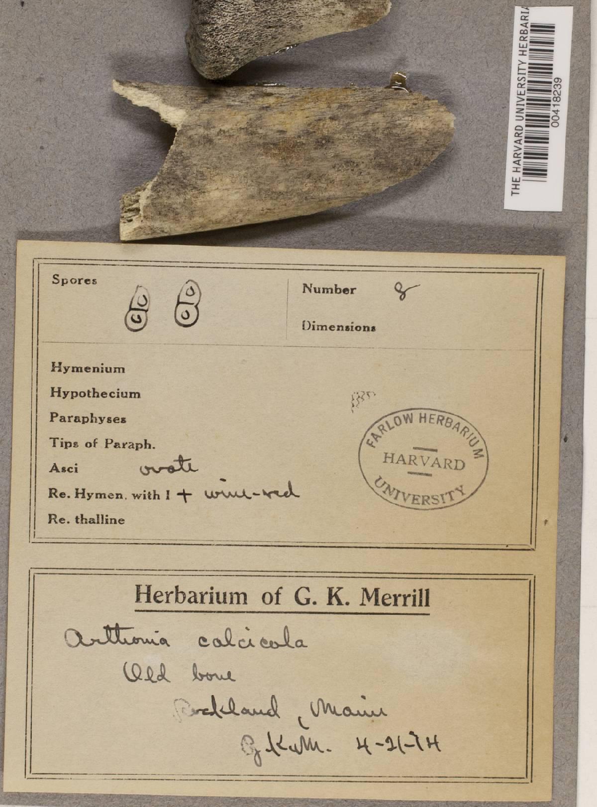Arthonia calcicola image