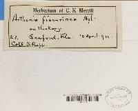 Arthonia fissurinea image