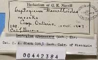 Leptogium cyanescens image