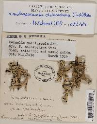 Xanthoparmelia chlorochroa image