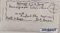 Sarcographa labyrinthica image
